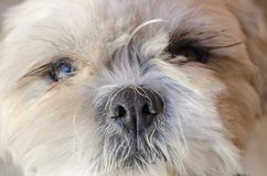 Close-up of a cute white dog face looking at you. White cute dog sitting on the ground and looking upward. Cute domestic dog portrait Royalty Free Stock Images
