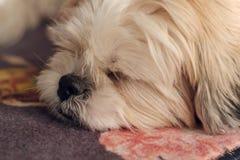 Close up of cute white shih tzu dog Stock Image