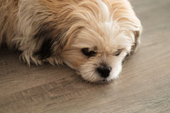 Close up of cute white shih tzu dog lying on wooden floor Royalty Free Stock Photos