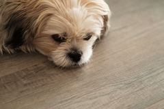 Close up of cute white shih tzu dog lying on wooden floor Royalty Free Stock Photography