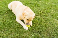 Close up of a cute yellow labrador puppy playing with a green tennis ball in the grass outdoors. Shallow depth of field. royalty free stock images
