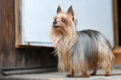 Close Up Cute Yorkshire Terrier Royalty Free Stock Image
