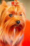 Close Up Cute Yorkshire Terrier Dog Stock Images