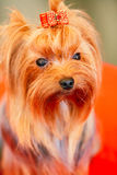 Close Up Cute Yorkshire Terrier Dog Royalty Free Stock Photography