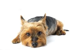 Yorkie lying down Royalty Free Stock Photos