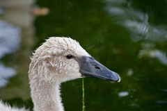 The close-up of the cute young swan Stock Image