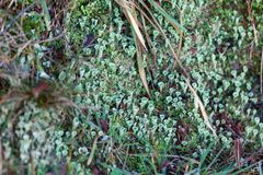 Close up of Cyan lichen and moss.  royalty free stock photos