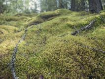 Close up of Cyan lichen and other lichens and moss. royalty free stock photo