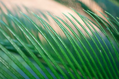 Close up Cycads Leaf Royalty Free Stock Photos
