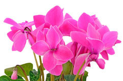 Close up cyclamen flowers Royalty Free Stock Photo