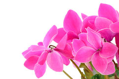 Close up cyclamen flowers Royalty Free Stock Photography