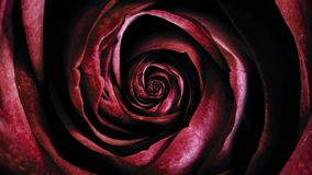 Close-up of cyclical moving texture of red rose. Beautiful animation.