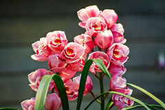 Close-up cymbidium. The photo was taken in Hong Kong park Hongkong,China Royalty Free Stock Image