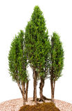 Close-up cypress trees Stock Images