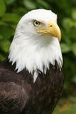Close up da águia fotografia de stock