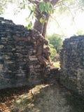 Close up da árvore ao lado da diferença que cresce na estrutura em ruínas maias de Kohunlich fotografia de stock royalty free