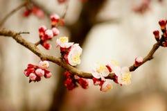 Flor de cerejeira Imagens de Stock Royalty Free