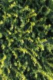 Close-up da árvore sempre-verde imagem de stock royalty free