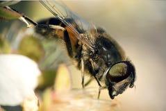 Close-up da abelha Imagem de Stock