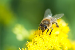Close up da abelha de Colletes Imagens de Stock