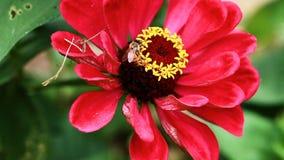 Close up da abelha na flor vermelha e amarela video estoque