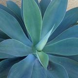 Close up da agave Imagem de Stock Royalty Free