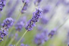 Close up da alfazema comum Fotos de Stock Royalty Free