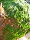 Close-up da alga em uma pedra Foto de Stock