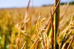 Close up da almofada dourada na terra Foto de Stock