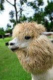 Close up da alpaca Fotografia de Stock