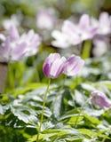 Close up da anêmona de madeira com um matiz do violett Fotografia de Stock Royalty Free