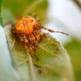 Close up da aranha fotografia de stock