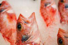 Close-up da aranha-do-mar ou do Scorpaena vermelho recentemente travado Scrofa no gelo alinhado para a venda no mercado de peixes Imagens de Stock