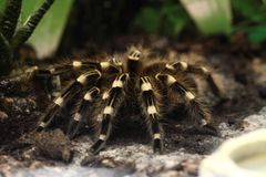 Close-up da aranha do pássaro Foto de Stock Royalty Free