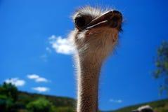 Close up da avestruz Fotos de Stock