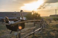 Close-up da avestruz contra o sol da noite Fotos de Stock