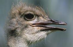 Close-up da avestruz da cabeça Fotos de Stock