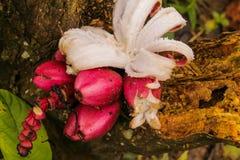 Close-up da banana vermelha em sua palma imagem de stock