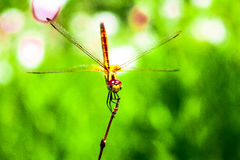 Close-up da beleza da luz do dia da natureza da libélula Imagem de Stock
