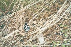 Close up da borboleta de Galatea Imagem de Stock Royalty Free