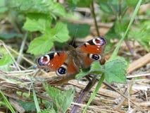 Close-up da borboleta de pavão que senta-se na terra foto de stock royalty free