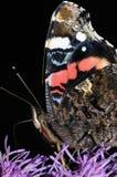 Close-up da borboleta do almirante Fotografia de Stock