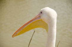 Close-up da cabeça com um grande pelicano do bico Imagens de Stock