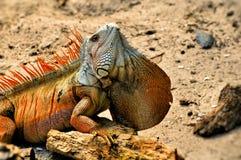 Close up da cabeça da iguana que mostra acima a grande haste Fotografia de Stock