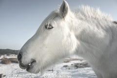 Close-up da cabeça de cavalo branco fotografia de stock