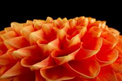 Close up da cabeça de flor do áster fotografia de stock royalty free