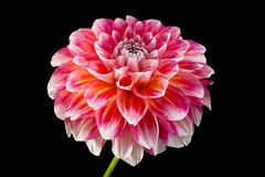 Close up da cabeça de flor do áster foto de stock