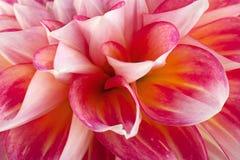 Close up da cabeça de flor do áster imagens de stock