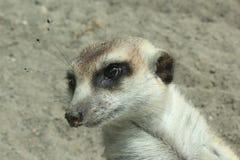 Close up da cabeça de Meerkat Foto de Stock Royalty Free