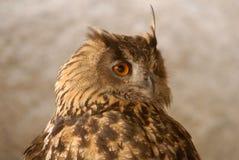Close-up da cabeça de uma coruja real foto de stock royalty free